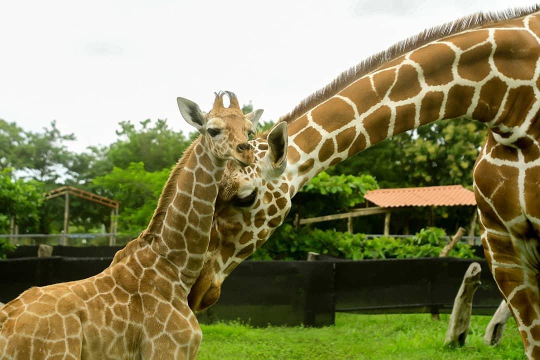 El dueño del zoológico La Ponderosa, David Patey, aseguró a Ameliarueda.com que el parque no forma parte de programas de conservación.